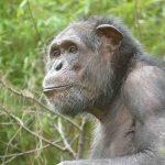 Ein neuer Mitbewohner für die Schimpansen-WG:  Epulu gut im Zoo angekommen