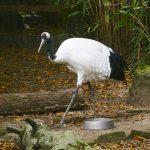 Mandschurenkranich: Eleganter Glücksvogel im Zoo Heidelberg eingezogen