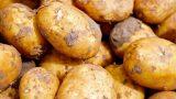 """Leimen: Landwirt verliert auf der L 600 nach Lingental """"stinkende"""" Kartoffeln"""