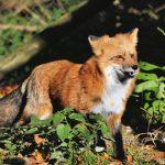 Fuchsräude im Rhein-Neckar-Kreis angekommen - Auch auf Menschen übertragbar