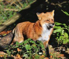 Fuchsräude im Rhein-Neckar-Kreis angekommen – Auch auf Menschen übertragbar