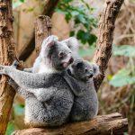 Hilfe für Australiens Tierwelt: Jeder Beitrag zählt - Zoo Heidelberg unterstützt