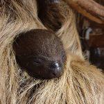 Zoo Heidelberg: Kleiner Faulpelz kuschelt am liebsten mit der Mutter