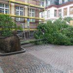 Neue Linde vor der Turmschule - Mehlbeerbäume in der Tinqueux-Allee