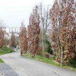 """""""Tote"""" Bäume auf dem Friedhof wieder mit frischen Blättern zum Leben erwacht"""