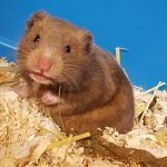 Nachwuchs im Tierheim: Wenn aus zwei Goldhamstern plötzlich acht werden