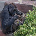 Traurige Nachricht aus dem Affenrevier – Gorillaweibchen Zsa Zsa im Zoo verstorben