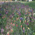 Wunderbar: Der blühende Grünstreifen entlang der Leimener  Tinqueux-Allee