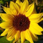"""Bienenfreundliche Pflanzen im Garten aber bitte keine echten """"Plastik""""-Geranien"""