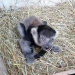 Herzlich willkommen, kleiner Gürtelvari! Besondere Regeln für den Zoobesuch