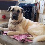 Herdenschutzhund im Tierheim sucht neue Heimat bei starkem Herrchen