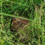 Kooperation Jäger-Landwirt rettet Rehkitz vor dem Wiesenmähen