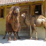 Neue Mitbewohnerin  bei den Trampeltieren im Zoo – Stute Zula eingezogen
