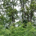 """Kreisforstamt: Robinie ist Baum des Jahres - """"Invasive"""" Art mit hohem Potential"""