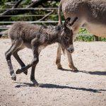 Graues Fell und lange Ohren: </br>Nachwuchs bei den Hauseseln im Zoo