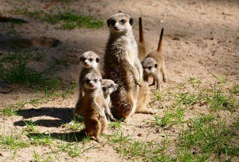 Tierische Doppelgänger im Zoo?! Nein, Erdmännchen ist nicht gleich Präriehund