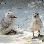 Flauschige Küken im Zoo: Nachwuchs bei Graumöwen und Inkaseeschwalben