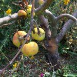 Unser Apfelbaum ist tot: Der Rindenbrand-Pilz – Neue Gefahr für Obstbäume