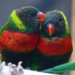 Wertvoller und farbenfroher Nachwuchs im Zoo: Mitchell-Loris sind flügge