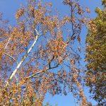 Anhaltende Trockenheit: </br>Sogar Birken müssen diese Jahr gegossen werden