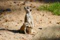 Willkommen in der Großfamilie – Erdmännchen im Zoo haben wieder Nachwuchs