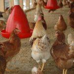 Veterinäramt informiert: Aktuell breitet sich die Geflügelpest in Deutschland aus