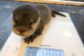 Zoo Heidelberg: Dreifacher Nachwuchs bei den Asiatischen Kurzkrallenottern