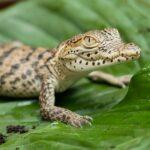 Zootier des Jahres 2021: Das Krokodil - Ein Nützlinge mit Imageproblem