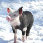 21-köpfige Rasselbande im Zoo - Junge Schweine mischen die Außenanlage auf