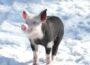21-köpfige Rasselbande im Zoo – Junge Schweine mischen die Außenanlage auf