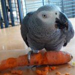 Coco, ein Graupapagei mit Unterhaltungswert sucht neue Heimat in Papageien-WG