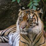 Gestreifte Pelzknäuel im Raubtierhaus - Sumatra-Tiger im Zoo haben Nachwuchs