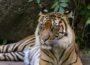 Gestreifte Pelzknäuel im Raubtierhaus – Sumatra-Tiger im Zoo haben Nachwuchs