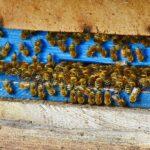 Sandhausen: Unbekannte entwenden 15 Bienenvölker mit etwa 75.000 Bienen
