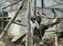 Zoo Heidelberg: Roloway-Meerkatzen ziehen ins Große Affenhaus