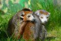 """Zwei """"gekrönte"""" Mitbewohner für die Kattas  – Im Zoo sind Kronenmakis eingezogen"""