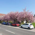 Phantastisches Frühlingswetter - Blüten ohne Ende und der erste Spargel