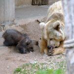 Jungbärin auf Entdeckungstour in der Außenanlage - Zoobesuch wieder möglich