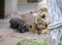 Jungbärin auf Entdeckungstour in der Außenanlage – Zoobesuch wieder möglich