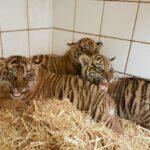 Tiger-Nachwuchs im Zoo entwickelt sich gut - Alle sind kerngesund