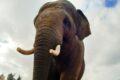 """Elefanten-WG im Zoo vergrößert sich: Ein """"Schwede"""" zieht mit ein"""