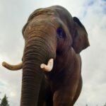 """Elefanten-WG im Zoo vergrößert sich: Ein großer """"Schwede"""" zieht mit ein"""
