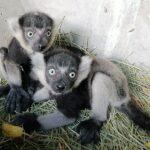 Zwei Geschwister entdecken ihre Welt - Junge Gürtelvaris im Zoo im Außengehege