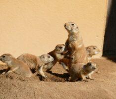 Sechsfacher Nachwuchs bei den Schwarzschwanz Präriehunden im Zoo