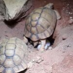 Nach Beschlagnahmung:  Zoo gelingt Zucht der Ägyptischen Landschildkröte