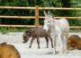 Zoo HD: Ziegen, Schafe, Hühner, Schweine, Esel und Ponys sind umgezogen