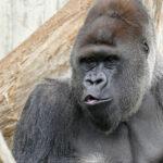 Tiergartenfreunde spenden 15.000 € für die Heidelberger Gorillas