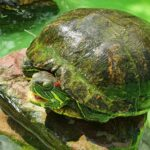 Faszination Wasserschildkröte - </br>Auch im (ausbruchssicheren) Gartenteich zu halten