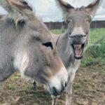 Rasenmäher auf vier Beinen: Esel und Ziegen als Landschaftspfleger