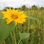 Blühstreifen und Blühwiesen in Sandhausen entwickeln sich prächtig